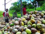 -Kopra merupakan salah satu komoditi andalan Sulawesi Utara (